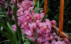 Orquídea da espécie Cymbidium