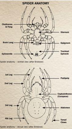 Image of spider anatomy Levitation Photography, Exposure Photography, Winter Photography, Abstract Photography, Insect Anatomy, Spider Pictures, Spider Legs, Spider Art, Spider Costume