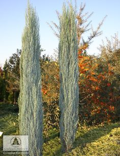 Juniperus scopulorum 'Blue Arrow' (J. Columnar Trees, Deciduous Trees, Trees And Shrubs, Trees To Plant, Evergreen Garden, Garden Trees, Tall Skinny Trees, Landscape Design, Garden Design