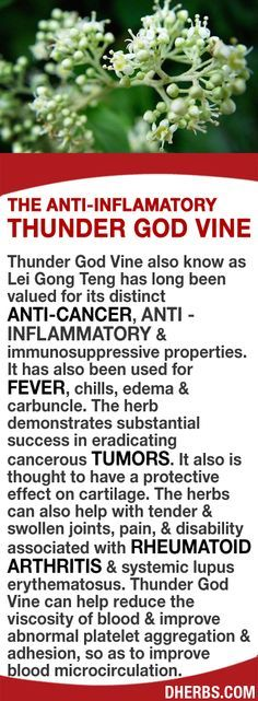 Thunder God Vine valued for its distinct anti-cancer, anti-inflammatory & immunosuppressive properties has also been used for fever, chills, edema & carbuncle. The herb demonstrates substantial success in eradicating cancerous tumors. It also is thought to have a protective effect on cartilage & can also help with tender & swollen joints, pain, & disability associated with RA & systemic lupus. It can help reduce viscosity of blood & improve blood microcirculation.