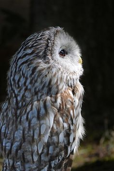 Ural owl - by Vic Burton <3.         (KO) What a cutie! Lovely little owl. Wicked beak, though. Don't touch! Looking: ok. Touching: not recommended.
