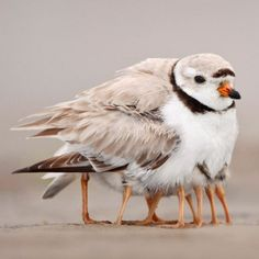 This piping plover may look This piping plover may look like it has many legs, but it is taking its four newborns under its wing to keep them warm.