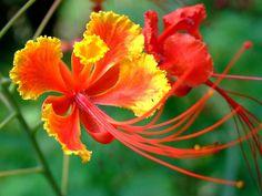 Red Bird of Paradise (Caesalpinia pulcherrima)