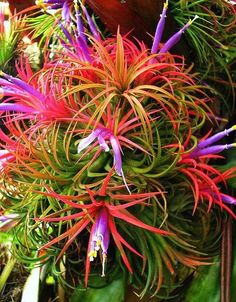 "The ""Dr. Suess Plant,"" tillandsia ionantha - decor inspiration"