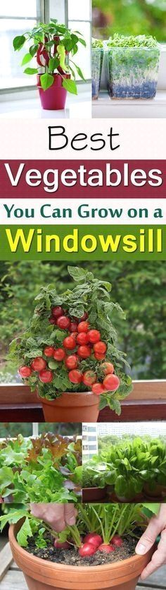 Want to grow FRESH & ORGANIC vegetables but short of space? No problem, you can even do this near your kitchen window. Just learn about the Windowsill Vegetable Gardening and 11 best vegetables you can grow there! #FreshOrganicGardening  #vegetablegardening