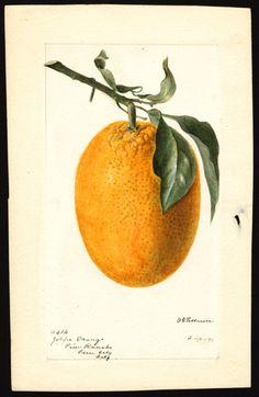 Artist:Passmore, Deborah Griscom, 1840-1911 Scientific name:Citrus sinensis Common name:oranges Variety:Joppa art original : col. ; 16 x 24 cm. Year:1896