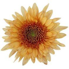 Bronze Cremon Flower - 18 bunches