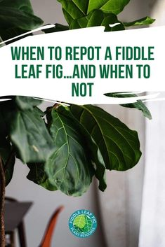 Excellent Gardening Ideas On Your Utilized Espresso Grounds Thinking You Need To Repot Your Fiddle Leaf Fig? Snap To Read These Best Tips On When To Repot Your Fiddle Leaf Fig And When You Should Not Repot. Fig Leaf Tree, Fig Leaves, Fiddle Leaf Fig Tree, Tree Care, Dry Leaf, Plant Care, Houseplants, Photoshop, Indoor Plants