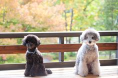 staying at hotel w/dogs nice colorful trees behind  #toypoodle #silverpoodle #blackpoodle #bluepoodle