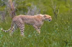 On the prowl Cheetahs, Giraffe, Wildlife, Fox, Animals, Beautiful, Felt Giraffe, Animales, Animaux