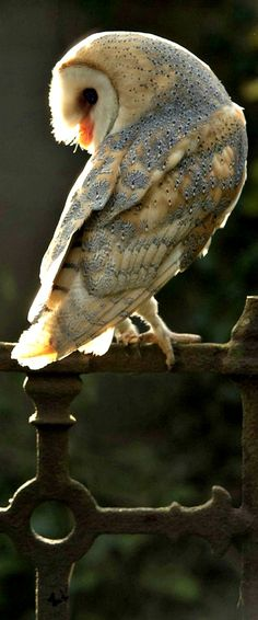 The owl has been called a Wise Bird for the same reason that some men are thought to be wise — he looks wise.