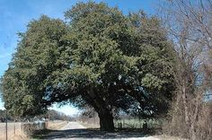 """The Wedding Oak"", a legendary Indian site popular into the 1900's,  sheltered many wedding services. Three occurred in one day on Dec 24, 1911. Near San Saba, TX."