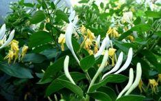 Planta are proprietăţi antiinflamatoare uimitoare, o infuzie preparată din… Natural Health Remedies, Healthy, Gardening, Cottages, Google, Decor, Medicine, Home, Palmas