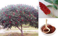 Сумах — что это за дерево? В самом названии этого дерева слышится легкое придыхание экзотических стран. Произрастает оно во многих частях света. Немного похожее на пальму с пышной кроной и раскидистыми ветвями это дерево можно увидеть на каменистых почвах Северной Америки, в Азии, Африке и даже в Европе. Из 250 видов растений семейства Сумаховые в …