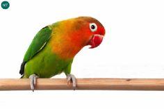 https://www.facebook.com/WonderBirdSpecies/ Fischer's lovebird (Agapornis fischeri); Native to south and southeast of Lake Victoria, Tanzania; IUCN Red List of Threatened Species 3.1 : Near Threatened (NT)(Loài sắp bị đe dọa) || Chim tình yêu Fischer; Loài bản địa nam và đông-nam hồ Victoria, Tanzania; HỌ VẸT NHỎ - PSITTACULIDAE (Parrots). Đặt tên theo nhà thám hiểm châu Phi người Đức Gustav Adolf Fischer (3/3/1848 – 11/11/1886)
