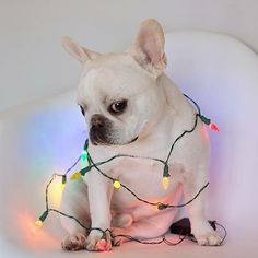 """When it's not even Christmas yet... and you're already like...string me up in lights!"" Funny French Bulldog at Christmas❤️✨"
