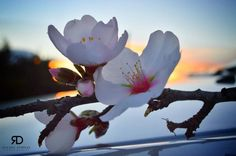 Photo of the Week: 11th Feb 2014. Almond Blossom