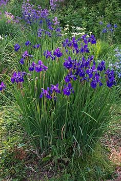siberian iris - put these in beside my sweet pea trellis. siberian iris - put these in beside my swe Garden Arbor, Garden Plants, Garden Landscaping, Bog Garden, Amazing Gardens, Beautiful Gardens, Beautiful Flowers, Outdoor Plants, Outdoor Gardens