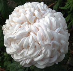 Crisantemo - My site Unusual Flowers, Unusual Plants, Rare Flowers, Cut Flowers, Amazing Flowers, White Flowers, Beautiful Flowers, Yellow Roses, Purple Flowers