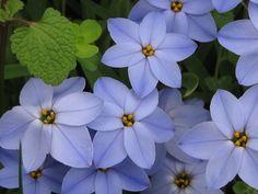 Iphéions, fleurs de printemps. Associés avec une pivoine, les deux se complètent parfaitement.