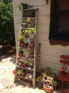 Heaps of succulents adorning the old ladder.