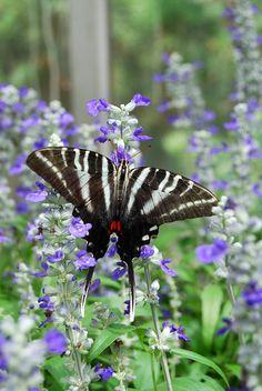 Zebra Swallowtail Butterfly On Purple Flowers