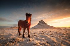 An Icelandic horse in a snowy morning in Kirkjufell (the famous mountain in the back). Icelandic horses are very interesting creatures, very curious towards anyone that comes close. Sometimes if they are many it becomes very hard to get away from the circle they form around him.