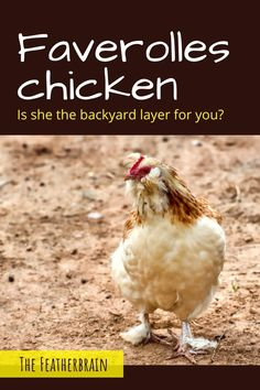 Find out if Faverolles chickens are the right breed for you. See what these chickens look like in Salmon and other varieties (with pictures and videos of hens, roosters, and chicks), and learn how many eggs they lay. Discover if this beautiful and friendly heritage breed is right for you! Types Of Chickens, Raising Chickens, Broody, Chicken Breeds, Backyard Chickens, Chicken Eggs, Roosters, Hens, Homestead