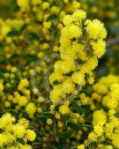Acacia acinacea Ruby Tips Gold Dust Wattle