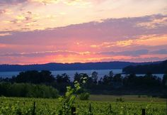 Chardonnay vineyard at sunset