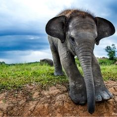 A young elephant pictured in Way Kambas National Park in Southern Sumatra. Sumatras elephants are under siege but...