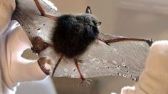 Bats get tears in their wings, much like we might get a cut on one of our fingers. A small tear in the wing up to about an inch doesn't cause the bat much trouble in flight. Larger tears are very rare. Since the bat's wing is living tissue, it has all the components needed to heal itself. Often, after the wound heals, the bat has a scar on its wing