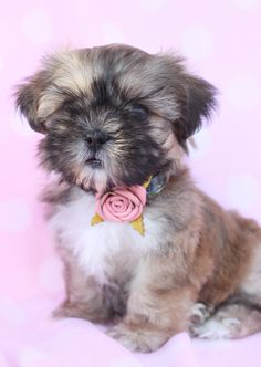 Gorgeous Shih Tzu Puppy