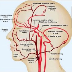 Anatomical location of the external carotid artery (source) Facial Anatomy, Brain Anatomy, Human Body Anatomy, Medical Anatomy, Human Anatomy And Physiology, Skull Anatomy, Medical Coding, Medical Science, Brain Science