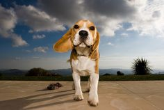 beagle!!! #dog #beagle #animal #