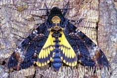 head hawk moth - Recherche Google