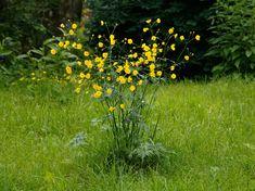 Scharfer Hahnenfuß, Ranunculus acris - Blütenpflanzen - NatureGate