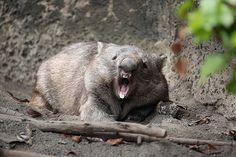 Wombat leave me alone