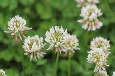 Kevesen gondolnák, hogy a fehér here milyen nagyszerű hatóanyagokat tartalmaz, amelyek felpezsdítik a szervezet, és megelőzik a betegségeket. A fehér here széles körben elterjedt Európában és Ázsiában. Kedveli a nedves helyeket, a legelőket, a gyümölcsösöket, a megműveletlen területeket. Májustól októberig virágzik, amely a levelekkel és a szárral együtt gyűjthető, hiszen jótékony flavonoidokat, ásványi anyagokat, szaponinokat […]