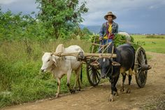 A man on his ox cart in a village near Inle Lake, Myanmar. Old Pictures, Animal Pictures, Inle Lake, Activities For Boys, People Of The World, Galaxy Wallpaper, Usmc, Cattle, Cambodia