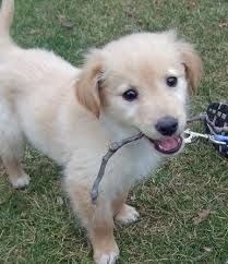 Image result for golden cocker retriever