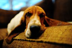 oh basset hounds...