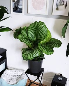 Indoor Flowering Plants, Outdoor Plants, Garden Plants, House Plants Decor, Plant Decor, Calathea Orbifolia, Garden Center Displays, Indoor Water Garden, Decoration Plante