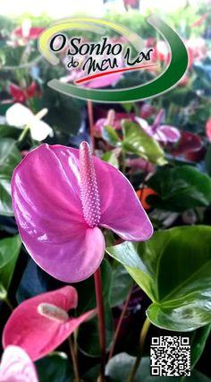 Plantas Interior - Anthurium