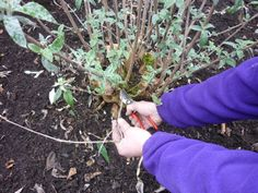In March, you'll need to remove any dead stems from the bottom of the #buddleia
