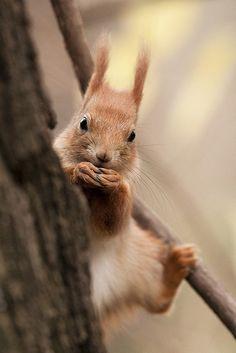 Gimnastics - Red Squirrel