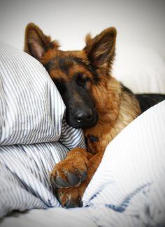 Dog-GSD-sleep-on-bed