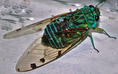 Ecuador cicada
