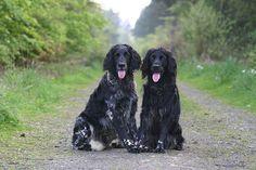 Great munsterlanders, my husband's favorite breed. IMG_0241 by Sandra & Derek on Flickr.Larger Munsterlanders