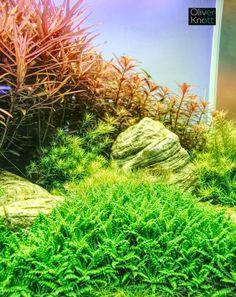by Oliver Knott Aquarium Design, Aquarium Ideas, Going Fishing, Planted Aquarium, Aquascaping, Plantar, Freshwater Aquarium, Terrariums, Fish Tank